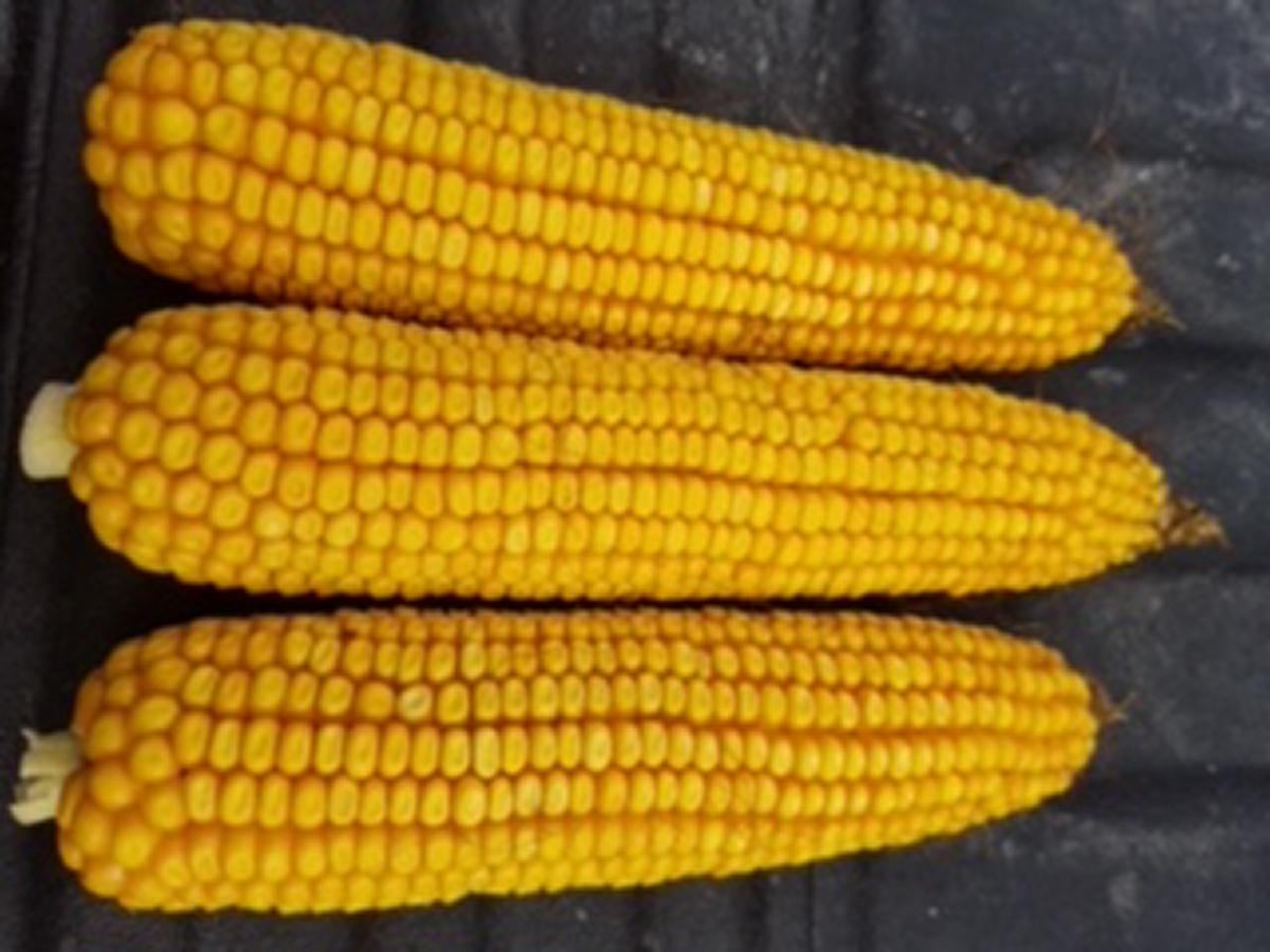 Corn grown from Roed Seeds